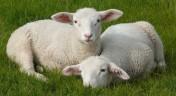 Kupię owce, jagnięcine eksportowa