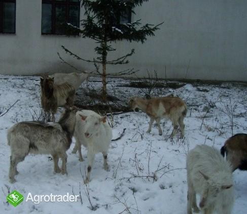 kozy, kózki, cap Tanio! - zdjęcie 1