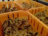 Kurczęta odchowane