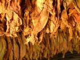 Sprzedam liście tytoniu I klasa 663-535-221