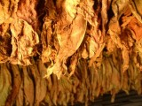 Liście tytoniu 663-535-221,gatunek super, I klasa