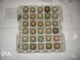 Jaja lęgowe bażanta łownego