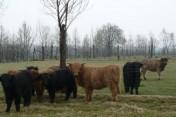 krowy szkockie