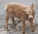 Cielęta Mięsne Byczki Jałóweczki
