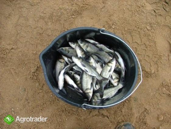 Sprzedam narybek Karpia, Amura, Tołpygi, koi, - zdjęcie 2