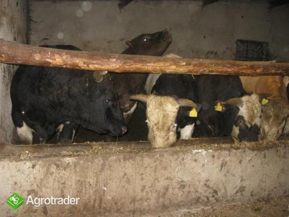 byki,cielaki byczki sprzedam gospodarz! - zdjęcie 3