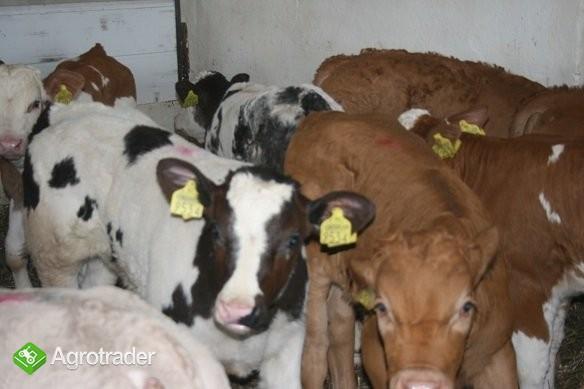 Sprzedaż Cieląt Ras Mięsnych- ZM BM Kobylin - zdjęcie 2