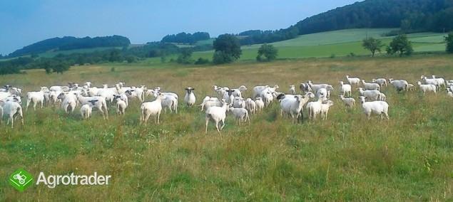 sprzedam owce - zdjęcie 1