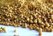 Grossverkauf von Senfkörner(gelb, weiss)