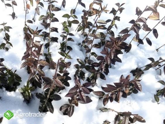 Ligustr pospolity i zimozielony na żywopłot - zdjęcie 2