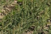 Sadzonki na plantacje choinkowe