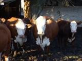 Hereford 100% zacielone ZOBACZ WARTO!!! Mięsne krowy