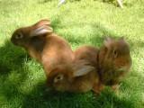 króliki nowozelandzkie czerwone