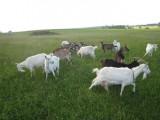 owce wrzosówki, kozy