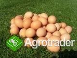 Jajka spożywcze zUkrainy