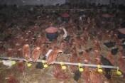 kurki odchowane kokoszki kury ferma drobiu