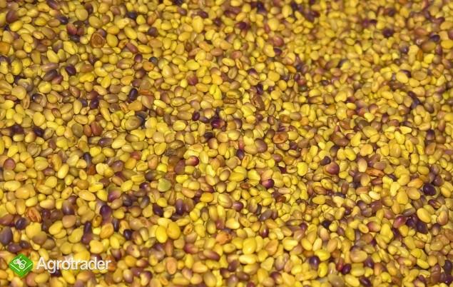 Koniczyna czerwona, nasiona, zbiór 2017, czyczyszczone na Petkusie  - zdjęcie 1