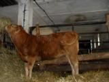 SPRZEDAM jałówki odsadki rasy Limousin czysto rasowe.