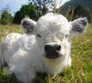 Kupię Miniaturkę Krowy