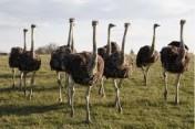 Struś Emu jajka Jaja jajowatych i ich pisklęta