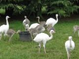Strusie, emu, pisklęta nandus i ich pisklęta