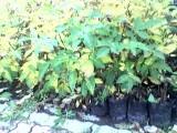 sadzonka orzecha włoskiego