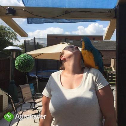 Niebieskie i złote papugi ara przygotowane - zdjęcie 1