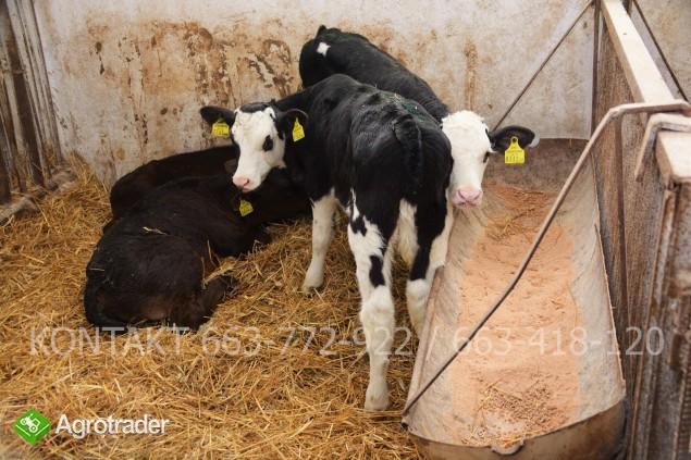Byczki mięsne i NBC nowa dostawa - zdjęcie 2