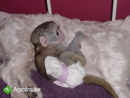 Małpy Cappuccino dostępne na sprzedaż