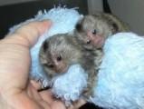 Cudowna urocza małpa kapucynów do adopcji