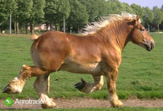 Ukraina. Ciezkie konie wlodzimierskie o duzej masie ciala w cenie 3 zl
