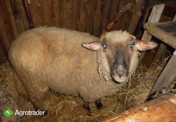 Barany i owca czarnogłówki na sprzedaż - zdjęcie 6