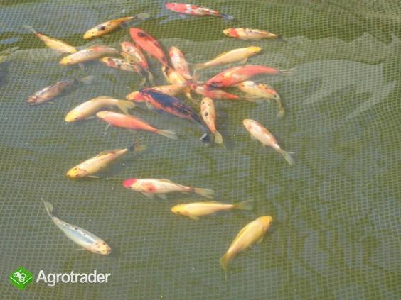 Karp, Amur, Tołpyga ,Sum, Lin, Ryby kolorowe. - zdjęcie 3