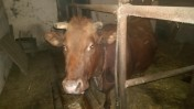 Krowa wysokocielna rasa MS
