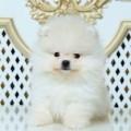 Niesamowite szczenieta Pomeranian za DARMO