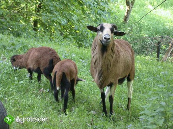 Owce Tryczki kameruńskie, Tryczka wrzosówka, Barbados. - zdjęcie 3