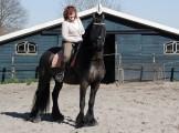 Koń fryzyjski na sprzedaż, dostępny teraz