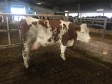 Simentalskie jałówki oraz krowy - z linii melcznej