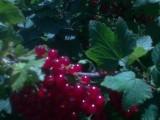 Porzeczka czarna, czerwona