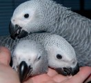 Available Fertile Parrots Eggs And Parrots