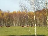 Highland Cattle - bydło szkockie górskie