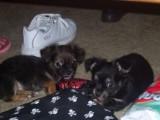 zwierzeta Chihuahua na sprzedaż