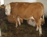 Simental mleczny tzw.Bawarki