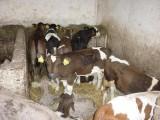cielaki byczki miesne czrno-białe