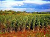 Drzewka owocowe do sadów ekologicznych na dopłaty