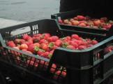 sprzedam sadzonki truskawek honey