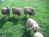 Sprzedam kozy i owce