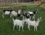 Kozy dojne, młode kózki i capki