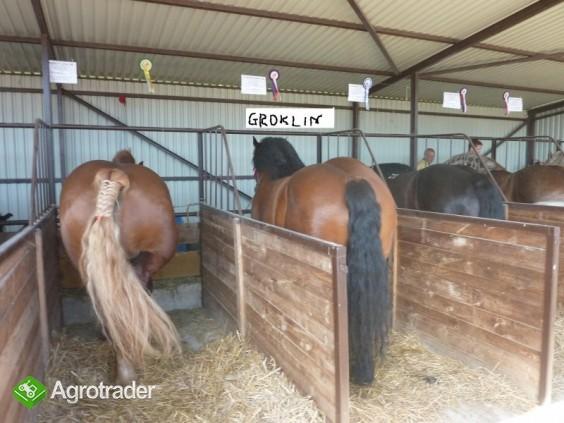 Sprzedam konie zimnokrwiste (duży wybór) - zdjęcie 1