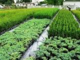 Sprzedam krzewy ozdobne różnych gatunków i odmian